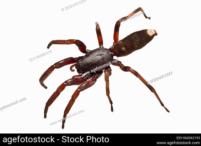 The infamous Australian white tip spiders preferred prey is other spiders and they are equipped with some serious venom for hunting