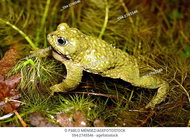 "Natterjack toad """"Bufo calamita"""", in a ponds of Roblellano, La Cabrera, Spain"