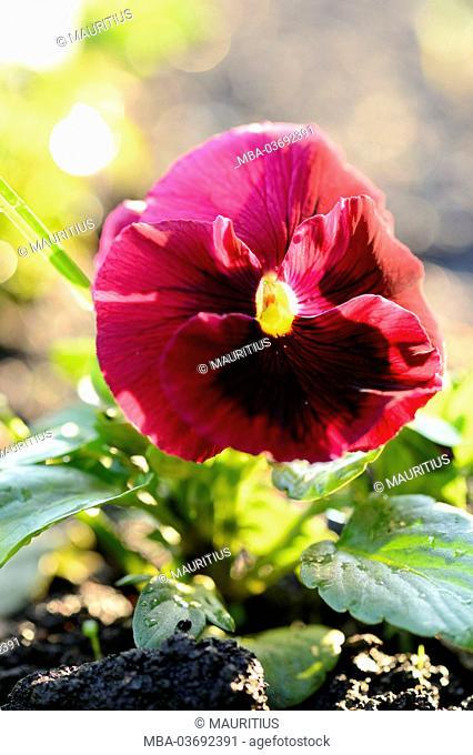 heartsease, viola wittrockiana, blossoms, spring