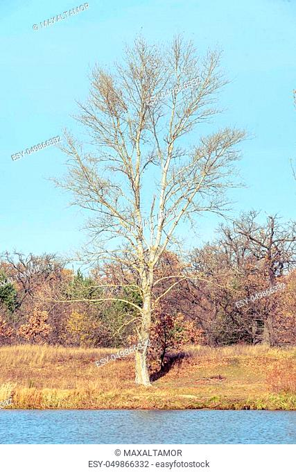 View of a white poplar tree close to the Dnieper river in autumn