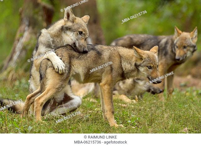 European Gray Wolf, Canis lupus lupus, Young Wolves, Germany