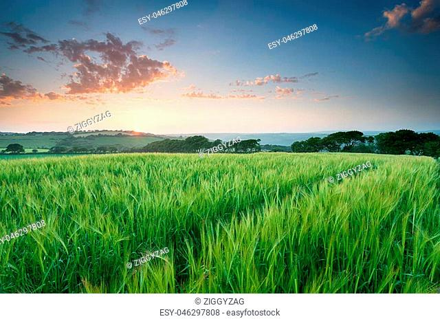 Beautiful summer sunset over a field of Barley in the Cornish countryside