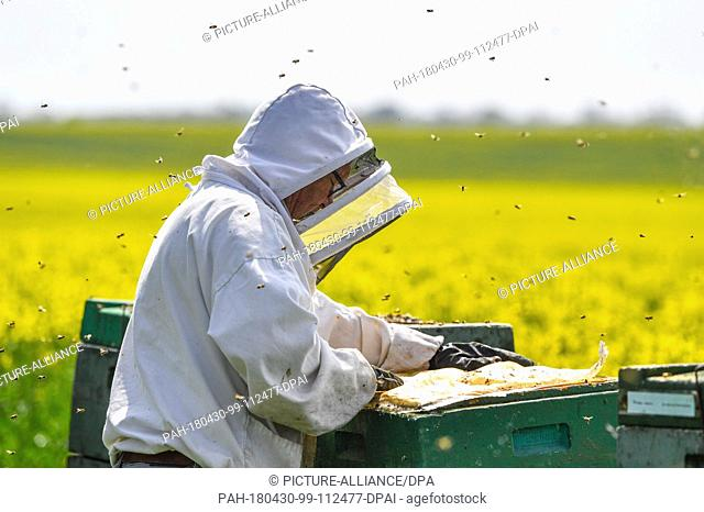 FILED - 27 April 2018, Germany, Mallnow:A beekeeper works on the hives near a blooming rapeseed field. During day time the bees bring nectar