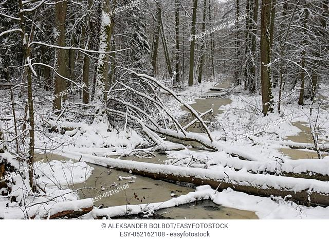 Frozen small forest river crossing mixed stand, bialowieza Forest, Poland, Europe