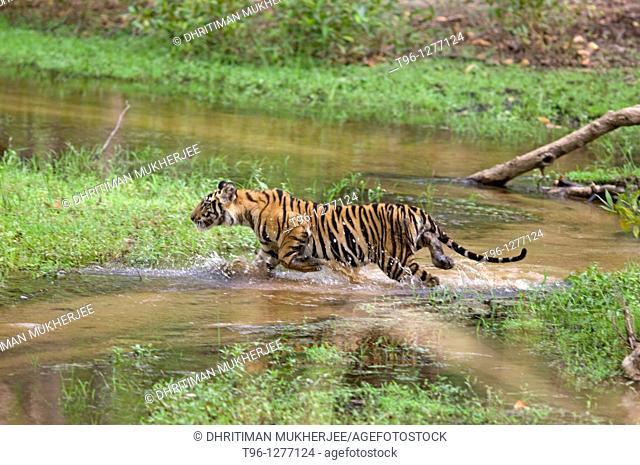 Royal Bengal Tiger panthera tigris tigris cub endangered at bandhabhgarh national park india