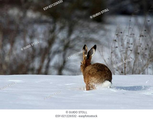Feldhase im Winter