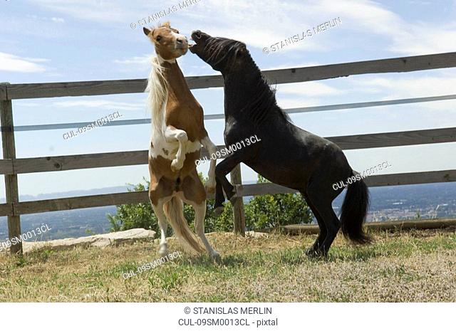 Two miniature horses frolicking