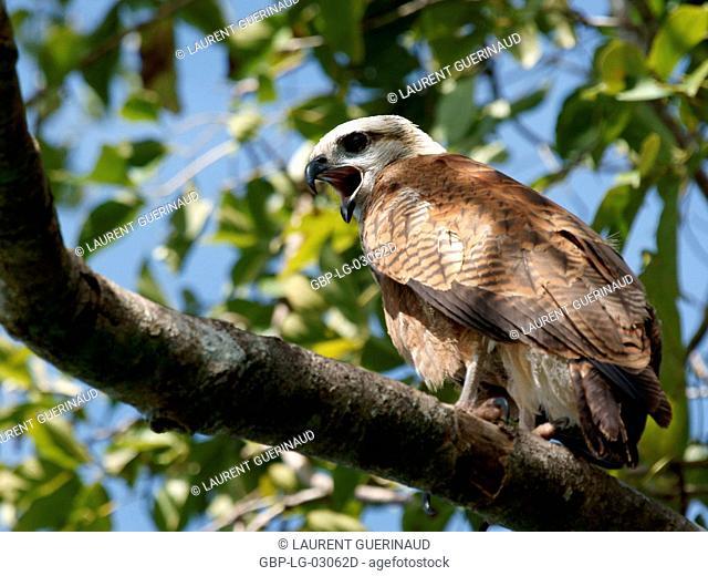 Bird of prey, Hawk-beautiful, Pantanal, Mato Grosso do Sul, Brazil