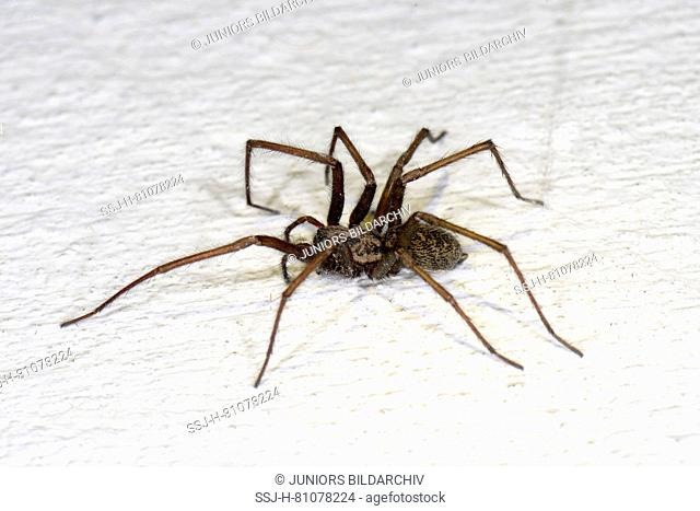 Giant European House Spider, Giant House Spider, Larger House Spider, Cobweb Spider (Tegenaria atrica, Tegenaria gigantea) on a white wall. Germany