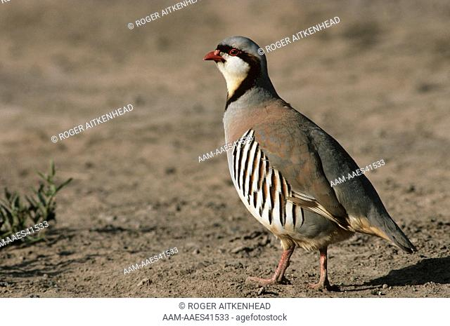 Chukar Partridge (Alectoris chukar) OR