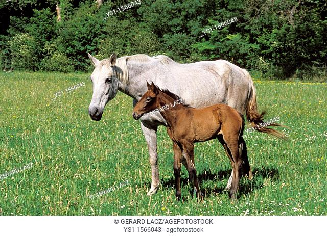 Lusitano Horse, Mare with Foal in Meadow