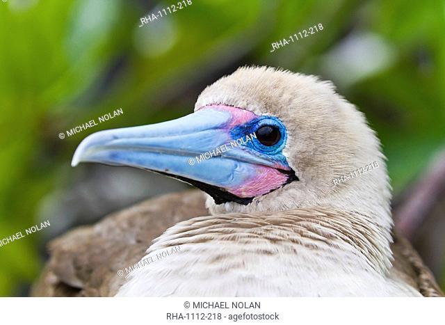 Adult dark morph red-footed booby Sula sula, Genovesa Island, Galapagos Islands, Ecuador, South America