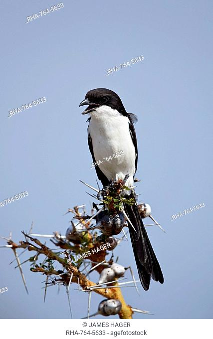 Long-tailed fiscal (Lanius cabanisi), Selous Game Reserve, Tanzania, East Africa, Africa