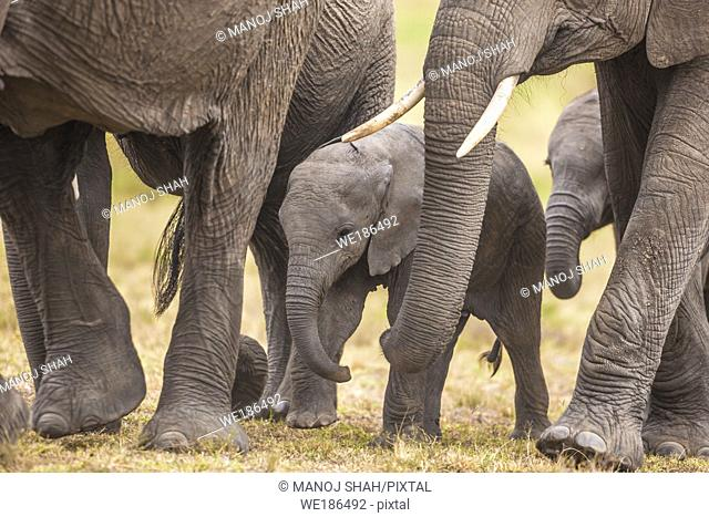 Elephant legs surround the baby when walking for safety reasons