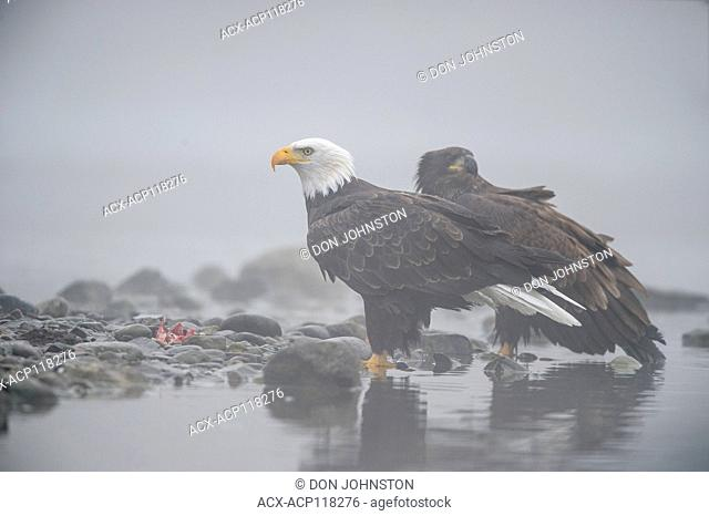 Bald eagle (Haliaeetus leucocephalus)- Attracted to sockeye salmon run on the Chilko River, Chilcotin Wilderness, BC Interior, Canada