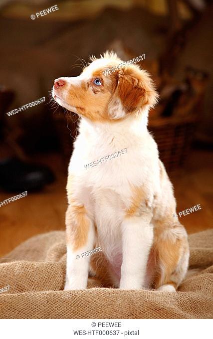 Miniature Australian Shepherd, puppy, red-merle