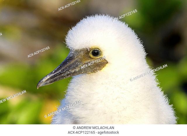 Brown Booby (Sula leucogaster) chick, Cayman Brac, Cayman Islands, British West Indies