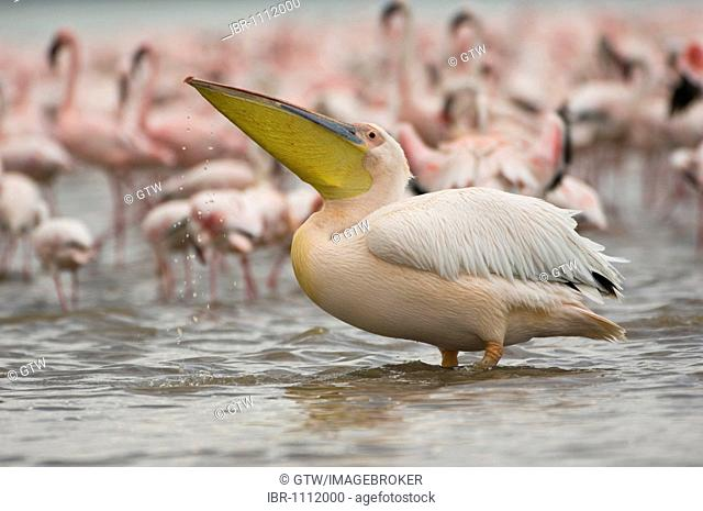 Great White Pelican (Pelecanus onocrotalus), Lake Nakuru National Park, Kenya, East Africa