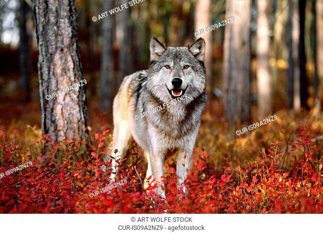 Gray wolf stands in fall foliage, Minnesota, USA