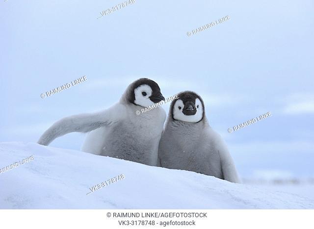 Emperor penguins, Aptenodytes forsteri, Two Chicks, Snow Hill Island, Antartic Peninsula, Antarctica
