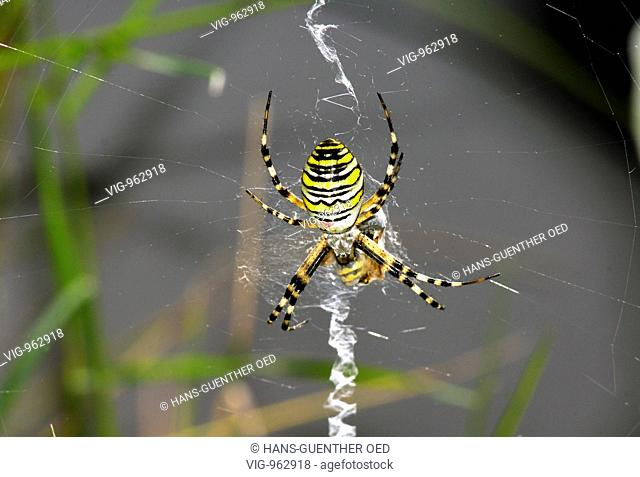 GERMANY, UNKEL, 22.8.2008, A wasp spider (Argiope bruennichi) is catching a wasp in the net and wrapping it in the silk. - UNKEL, RHINELAND-PALATINATE, GERMANY