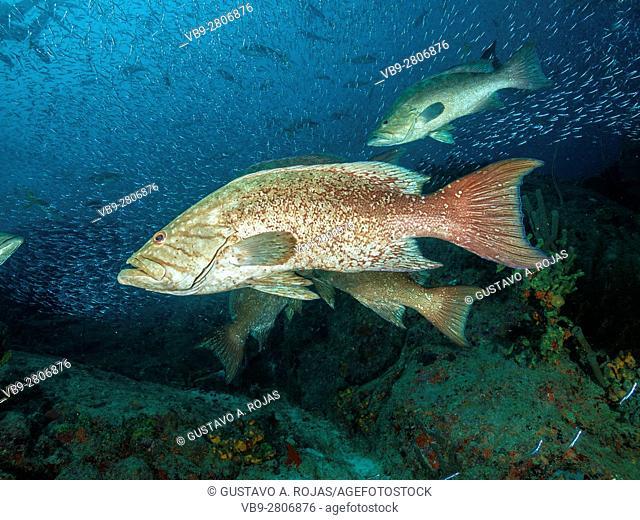 Mycteroperca acutirostris- los roques venezuela-5 animals