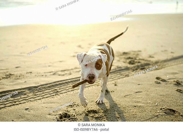 Dog playing with stick on beach