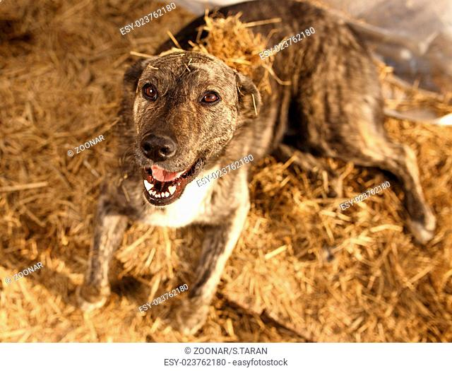 Mixed Breed Smiling Dog Lies on Manger