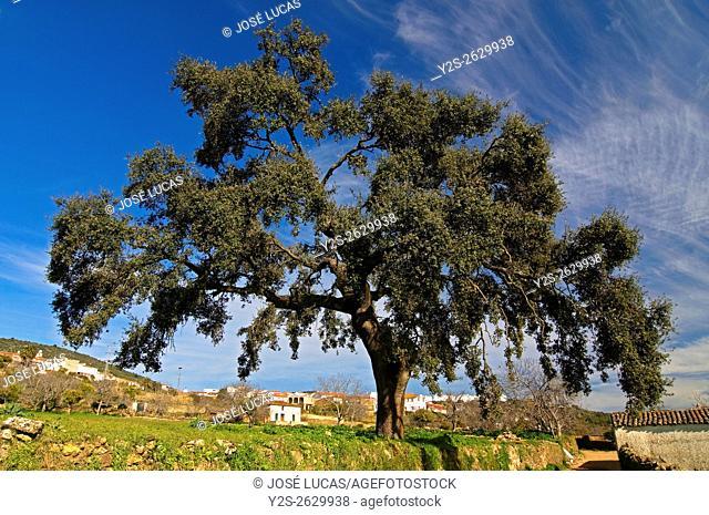 Sierra de Aracena Natural Park, Holm oak, Cañaveral de León, Huelva province, Region of Andalusia, Spain, Europe