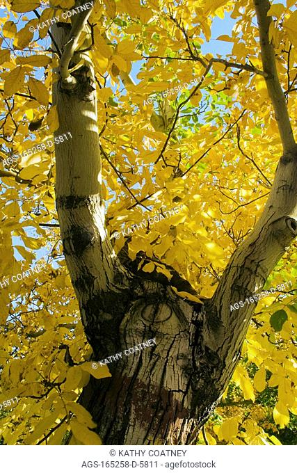 Agriculture - Walnut tree after the harvest in full autumn color / Northern CA - nr. Corning
