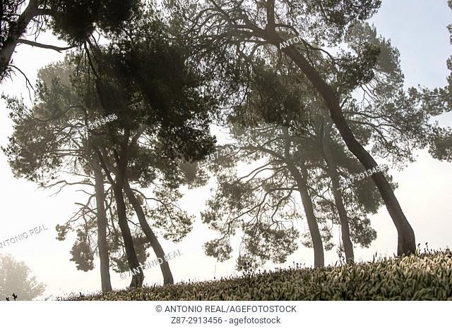 Pine trees, Almansa, Albacete, Castile-La Mancha, Spain