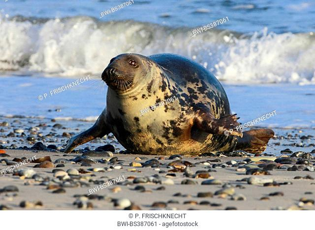 gray seal (Halichoerus grypus), male on the beach, Germany, Schleswig-Holstein, Heligoland