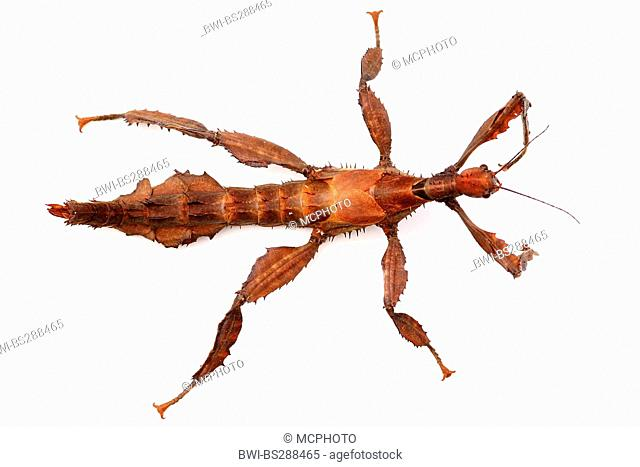Giant Prickly Stick Insect, Macleay's Spectre (Extatosoma tiaratum), top view