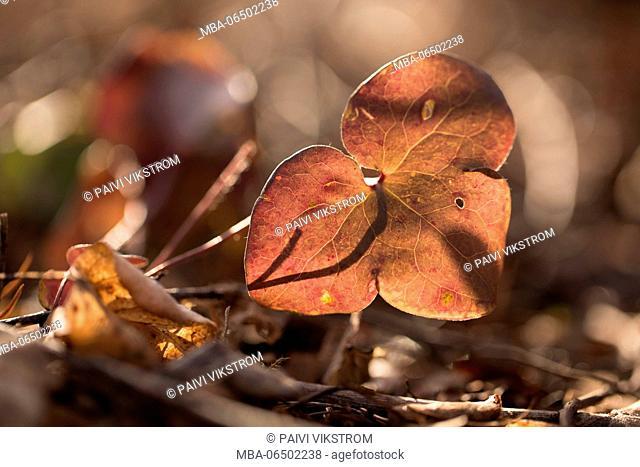 Liverwort leaf, Hepatica nobelis in sunlight