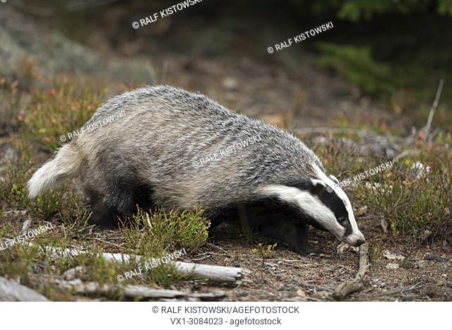 European Badger ( Meles meles ), adult animal, strolling through an open forest, hunting, Europe