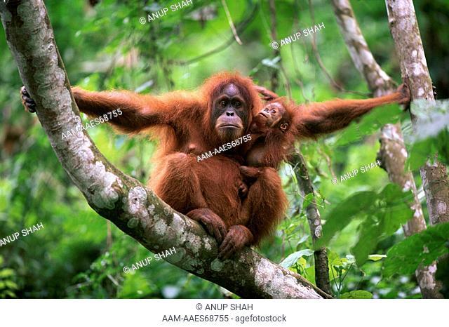 Female Sumatran Orang utan with playful baby (Pongo pygmaeus abelii) Gunung Leuser National Park, Sumatra, Indonesia