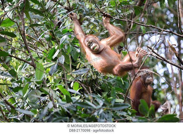 Asia, Malaysia, Borneo, Sabah, Sandakan, Sepilok Orang Utan Rehabilitation Center, Northeast Bornean orangutan (Pongo pygmaeus morio)