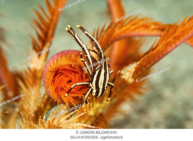 Crab (Allogalathea elegans) sitting on the arm of a crinoidd.