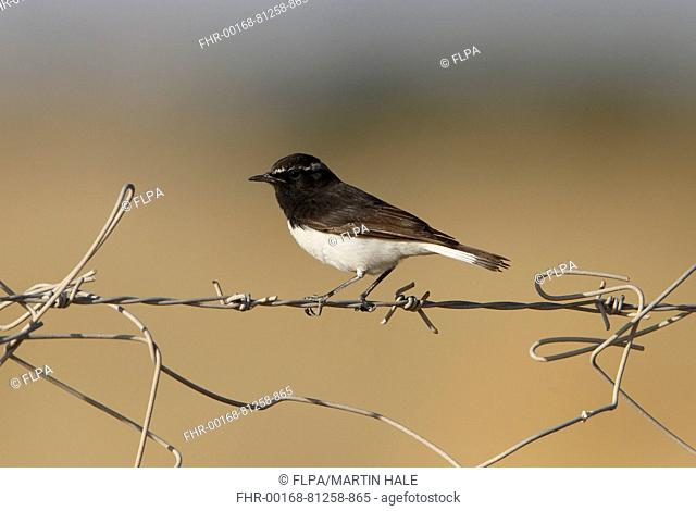 Variable Wheatear (Oenanthe picata) first winter male, moulting into breeding plumage, perched on barbed wire fence, Desert N.P