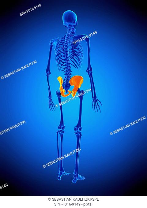 Illustration of the hip bones