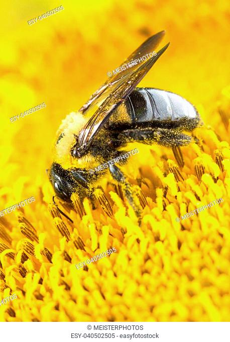 Close up of carpenter bee frantically collecting pollen on a sunflower