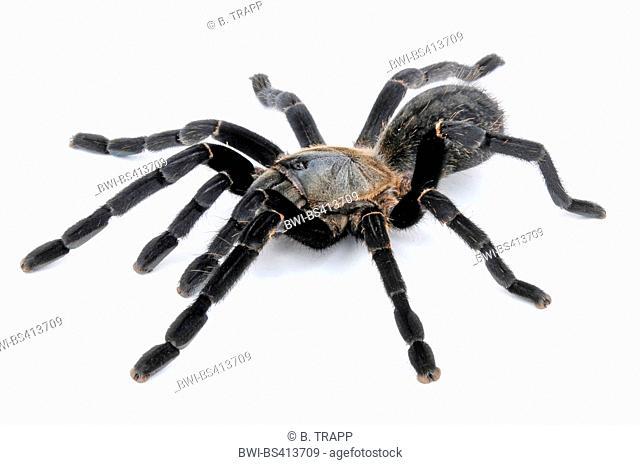 tarantula (Ornithoctonus costalis, Haplopelma costale), Thai bird spider, cut-out, Thailand