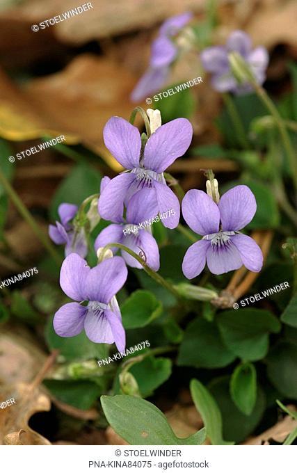 Common Dog-violet Viola riviniana - Dordogne, Aquitaine, France, Europe