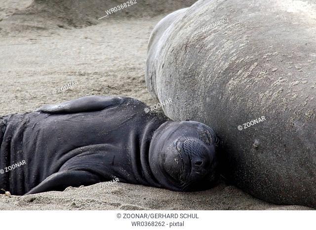 Northern Elephant Seal, Babies sleeping