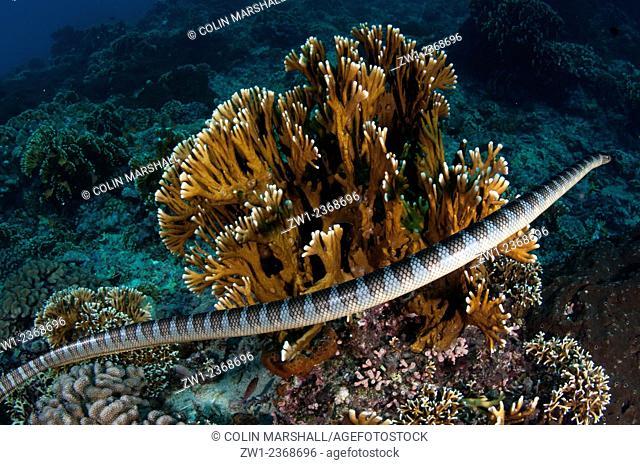 Banded Sea Snake (Laticauda colubrina) by coral, Snake Ridge dive site, Gunung Api, near Alor, Banda Sea, Indonesia