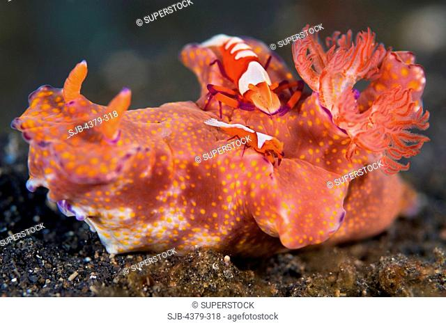 Shrimp Cleaning Nudibranch