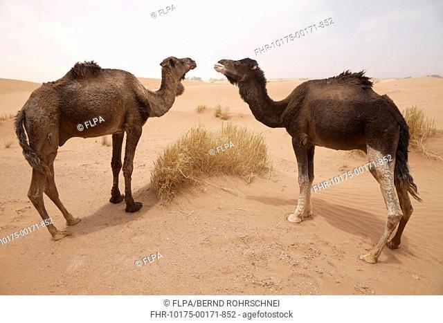Dromedary Camel Camelus dromedarius two adults, standing on desert sand dune, Sahara, Morocco, may
