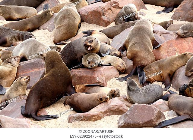 sea lions in Cape Cross, Namibia, wildlife