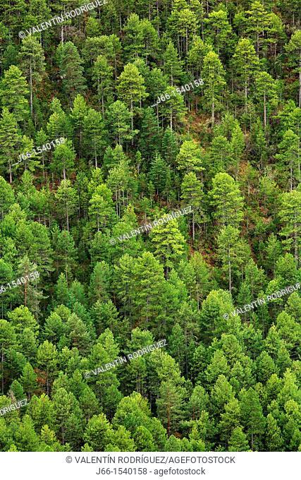 Corsican pine pine forest in the Alto Tajo Natural Park. Guadalajara