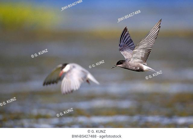 black tern (Chlidonias niger), in flight, side view, Romania, Danube Delta